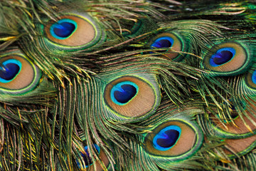 Green peafowl / peacock (Pavo muticus) tail feathers background