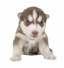 puppy Siberian husky isolated on white background