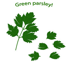 Parsley close-up. Fresh green parsley isolated on white background. Green vegetables Vector illustration.