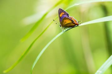 Purple Sapphire (Heliophorus epicles) perching on plant