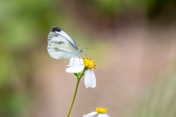 Indian Cabbage White (Pieris canidia) perching on plant