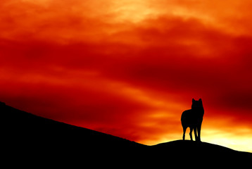 silhouette of a wolf standing on hill over sunrise sunset sky