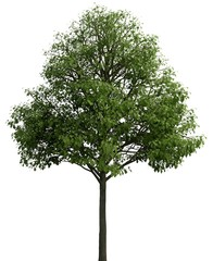 3D Illustration tree isolated on a white background
