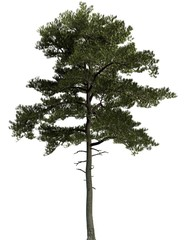 3D Illustration pine tree isolated on a white background