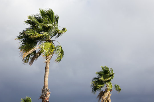 Storm menacing sky with strong wind blowing on palm trees. Tropical weather. Climate change concept