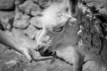 Alpaca Farm- Mizpe Ramon, Israel