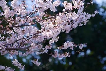 Cherry blossoms (Someiyoshino)