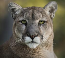 Printed kitchen splashbacks Puma Mountain Lion Portrait
