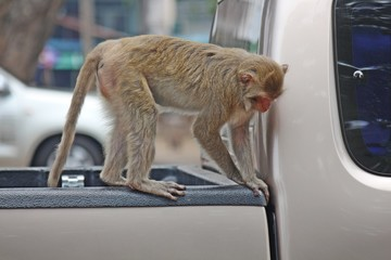 Monkey,  it is in the park at Thailand.