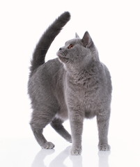 Grey british shorthair cat standing on white background