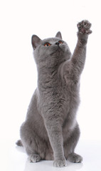 Blue british shorthair cat lifting up its paw