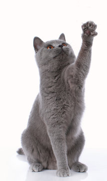 Blue british shorthair cat lifting up its paw