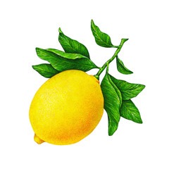 Great illustration of beautiful yellow lemon fruit on a branch with green leaves isolated on white background. Watercolor drawing of lemon