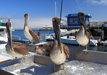 Sea Pelicans in Monterey Bay, California, USA