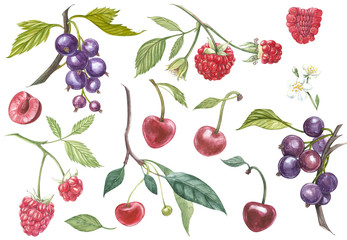 Set of hand drawn berries isolated on white background. Blackcurrant, cherry, raspberry. Watercolor hand drawn sketch berries