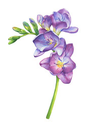 Close-up of fresh branches violet freesia flowers with buds (perennial plant Freesia Serrada). Floral botanical picture. Hand drawn watercolor painting illustration isolated on white background.