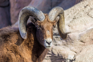 A Bighorn sheep,against a rock background, looks towards the camera