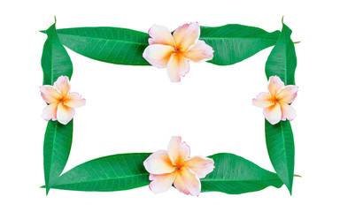 Frame plumeria flower and leaf isolated on white background with clipping path.