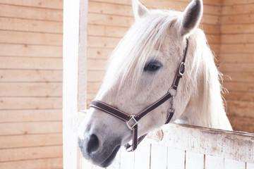Красивая белая лошадь, в загоне, крупным планом, на фоне деревянной стены из досок
