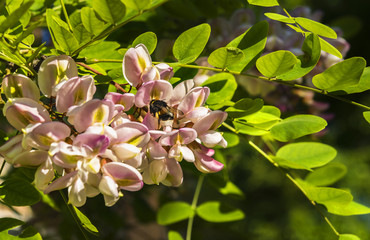 Blossoming acacia tree with a bumblebee seating on flower