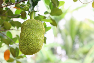 Jack fruit on Jack fruit tree