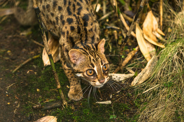 Leopard cat ( Prionailurus bengalensis) a small wild cat native to continental South, Southeast and East Asia