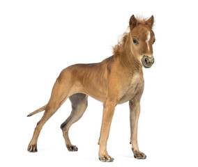 chimera with a Great Dane and a head of foal against white background