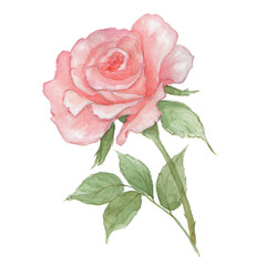 Watercolor tender light pink rose on white background. Fresh flowering rose