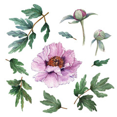 Hand painted floral elements set of flowers. Watercolor botanical illustration of peony flowers, buds and leaves.