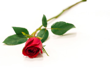 Red rose isolated on white background,valentine gift.