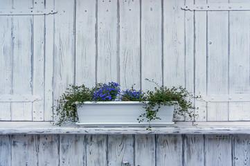 Fototapeta Niebieskie kwiaty  w białej doniczce na tle pomalowanych na biało desek obraz