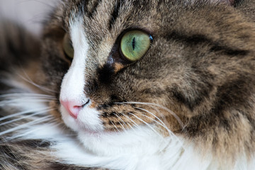 muzzle of a cat close-up