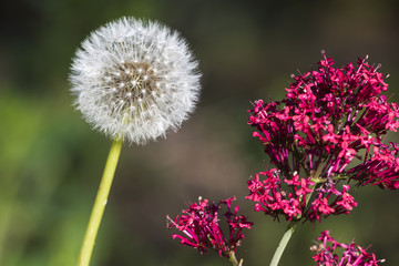 Beauty And The Beast (Dandelion Seed Head And Red Flower)