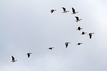 Wedge of flying wild Greater white-fronted geese (Anser albifrons) against cloudy sky