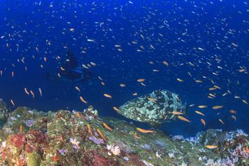 Marbled Grouper fish and manta ray