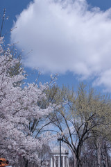 cherry blossom monument