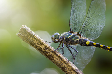 Image of Tetrathemis Platyptera dragonfly / Pygmy Skimmer on a branch. Insect. Animal