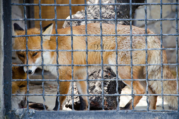 Fox in a cage in a zoo
