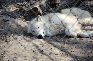 White wofl resting at Zoo