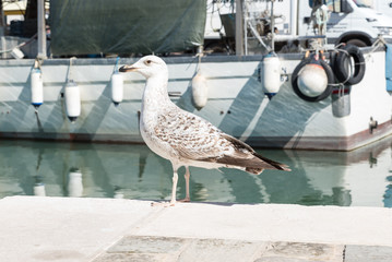 Seagull walking in the harbor