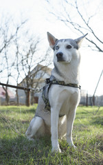 the husky dog sits on a green glade
