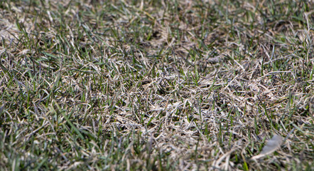 Spring lawn grass affected by grey snow mold Typhula sp. in the April garden