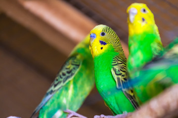 beautiful yellow-green parrot