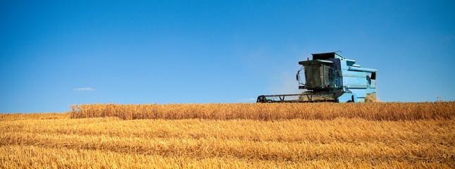 Champ de blé après la fauche