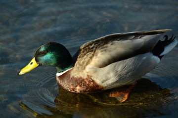 Ente am Wasser und am Seeufer