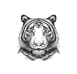 Portrait of a tiger painted in pencil. Hand-drawn. Close up. Isolated on white background