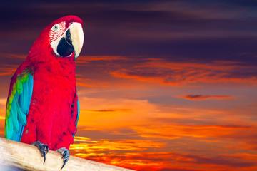 Single macaw papagay