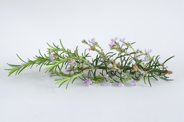 Branch of rosemary bloomed on white background.
