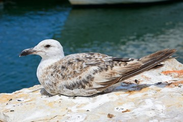 Seagull sitting on the riverbank, Lagos, Portugal.