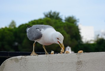 Seagull standing on a wall eating bread, Albufeira, Portugal.